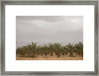 Date Palm Trees In An Orchard Framed Print by Taylor S. Kennedy