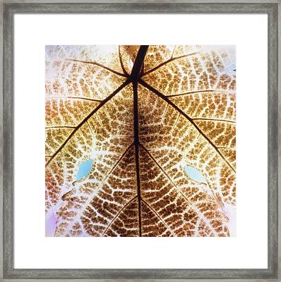 Decomposition Of Leaf Of A Grape Vine Framed Print by Dr Jeremy Burgess
