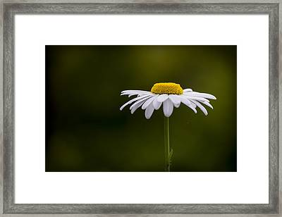 Defiant Daisy Framed Print by Clare Bambers