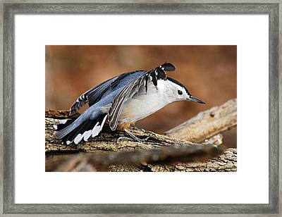 Defiant Nuthatch Framed Print by Larry Ricker