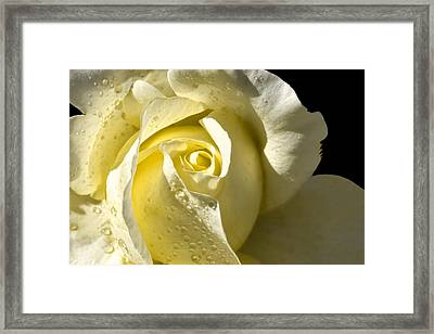Delightful Yellow Rose With Dew Framed Print by Tracie Kaska