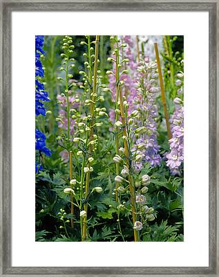 Delphiniums Attached To Cane Plant Supports Framed Print by Suzie Gibbons