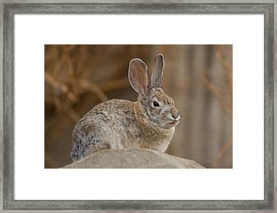 Desert Cottontail Rabbits Framed Print by Joel Sartore