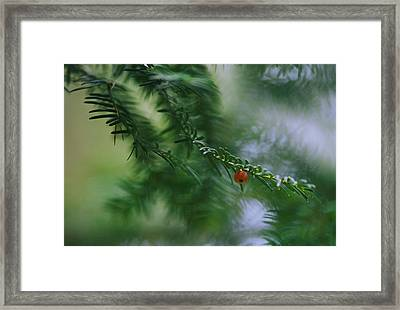 Detail Of Yew Bough With One Red Berry Framed Print by Mattias Klum