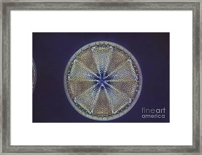 Diatom - Actinoptychus Heliopelta Framed Print by Eric V. Grave
