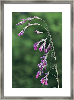 Dierama Pulcherrimum In Flower Framed Print by Colin Varndell