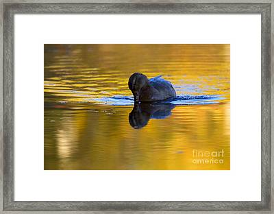 Dipping In Gold Framed Print by Mike  Dawson