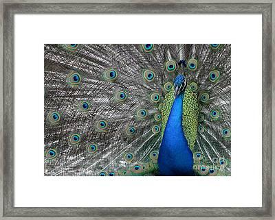 Diva Peacock Framed Print by Sabrina L Ryan