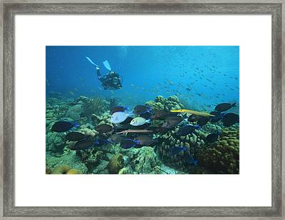 Diver Watching Blue Tangs, Doctorfish Framed Print by George Grall