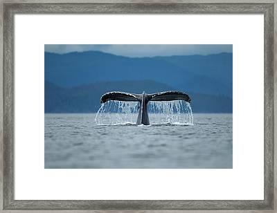 Diving Humpback Whale, Alaska Framed Print by Paul Souders