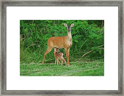 Doe And Nursing Fawn Framed Print by Fred Kirchhoff