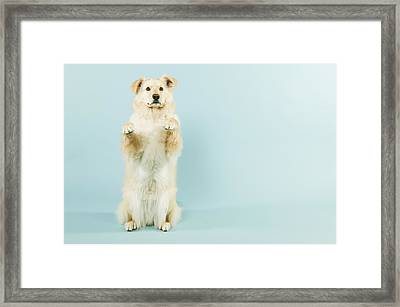 Dog Begging Framed Print by Grove Pashley
