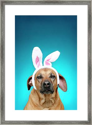 Dog Portrait Wearing Easter Bunny Ears Framed Print by Jade Brookbank