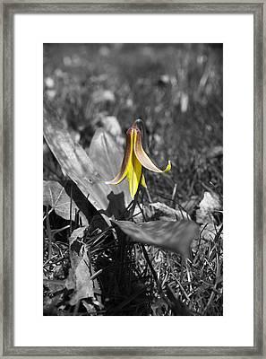 Dog Tooth Violet Framed Print by Elaine Mikkelstrup