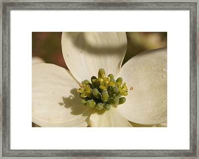 Dogwood Begins To Bloom 1 Close-up Framed Print by Robert E Alter Reflections of Infinity