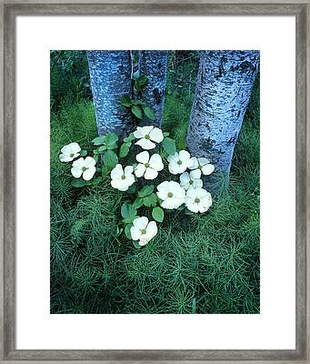 Dogwood Framed Print by Joe  Palermo
