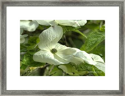 Dogwood Framed Print by Rod Wiens