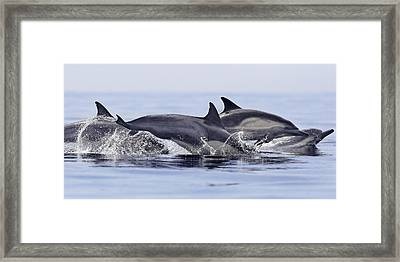 Dolphins At Play Framed Print by Steve Munch