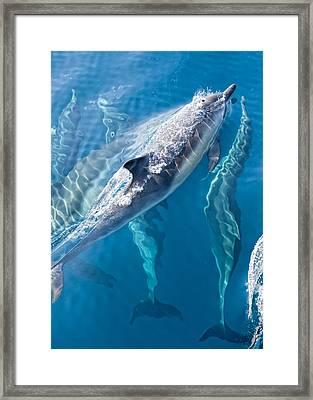 Dolphins Life Framed Print by Steve Munch
