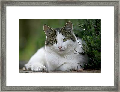 Domestic Cat Felis Catus Portrait Framed Print by Cyril Ruoso
