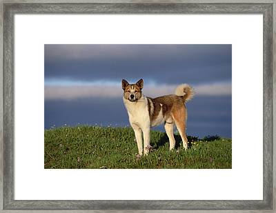 Domestic Dog Canis Familiaris, Taymyr Framed Print by Konrad Wothe