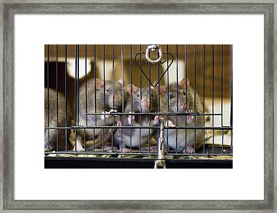 Domestic Rats At The Sutton Avian Framed Print by Joel Sartore