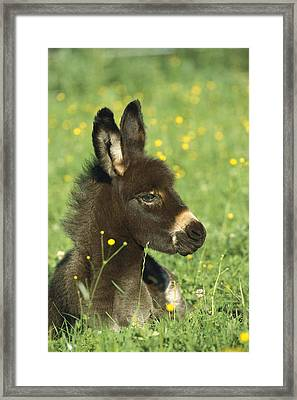 Donkey Equus Asinus Foal Resting Framed Print by Konrad Wothe