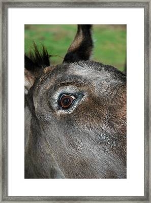 Donkey Stink Eye Framed Print by LeeAnn McLaneGoetz McLaneGoetzStudioLLCcom