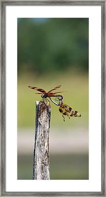 Dragon Fly Love Framed Print by Kelly Rader