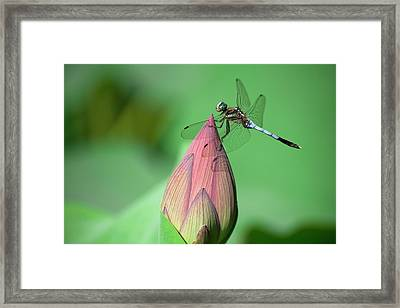 Dragonfly And Lotus Bud Framed Print by masahiro Makino