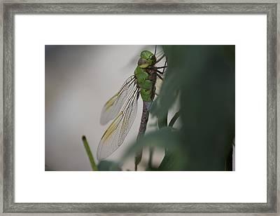 Dragonfly Framed Print by Michel DesRoches