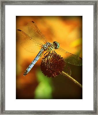 Dragonfly On A Dried Up Flower Framed Print by Tam Graff