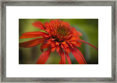 Dreamy Hot Papaya Coneflower Bloom Framed Print by Teresa Mucha