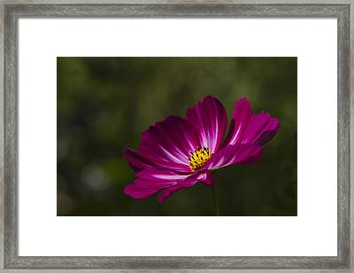 Dreamy Pink Cosmos Framed Print by Clare Bambers