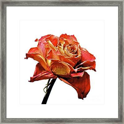 Dried Rose Framed Print by Bernard Jaubert