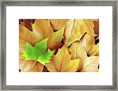Dry Fall Leaves Framed Print by Carlos Caetano