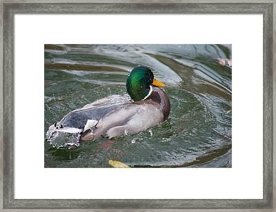 Duck Bathing Series 5 Framed Print by Craig Hosterman