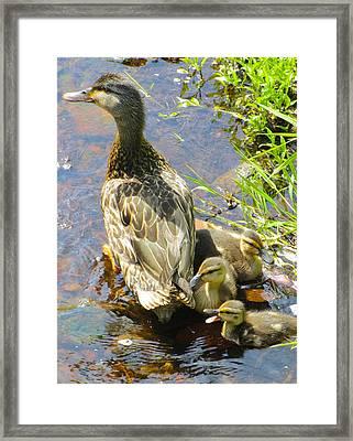 Ducklings Framed Print by Sarah Gayle Carter