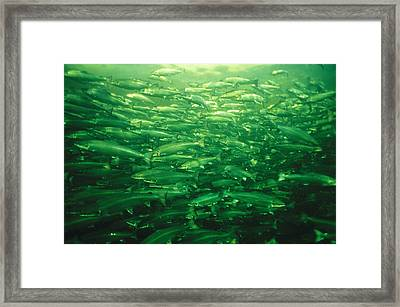 Due To High Demand, Atlantic Salmon Framed Print by Paul Nicklen