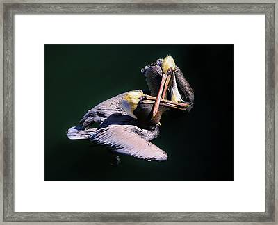 Dueling Pelicans Framed Print by Paulette Thomas