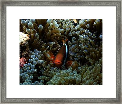 Dusky Anenomefish Framed Print by Brian Governale