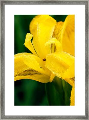 Dutch Iris Framed Print by Amanda Kiplinger