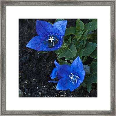 Dwarf Balloon Flower Platycodon Astra Blue  Framed Print by Steve Purnell