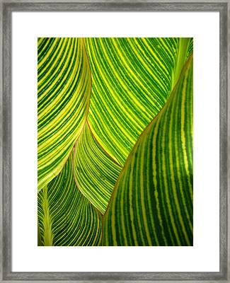 Dwarf Canna Lily Framed Print by Brenda Foran