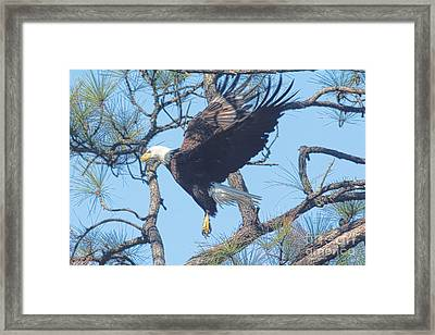 Eagle Mid Air Framed Print by Deborah Benoit