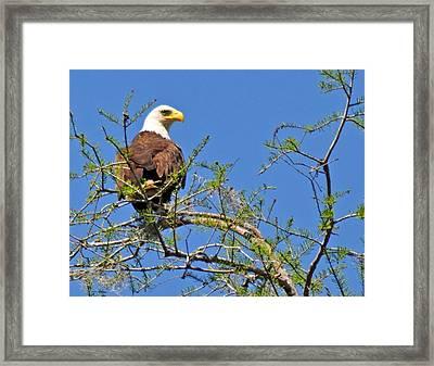 Eagle On Watch Framed Print by Kathy Ricca