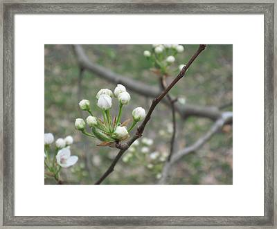 Early Blossoms Framed Print by Rebecca Shaw