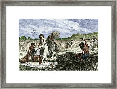 Early Humans Harvesting Crops Framed Print by Sheila Terry