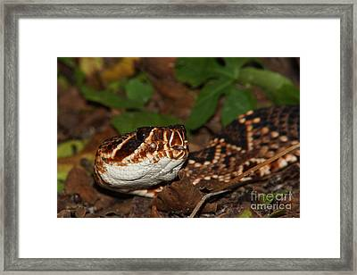 Eastern Diamondback Framed Print by Lynda Dawson-Youngclaus