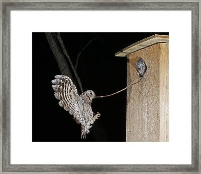 Eastern Screech Owl Feeding Young Framed Print by Kevin Shank Family